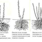 Сорта деревьев для штамба