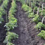 Сорта зимней капусты