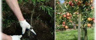 Яблони посадка уход