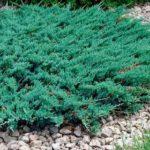 Гелихризум выращивание