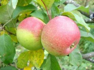Родничок яблоня