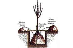 Глубина посадки яблони