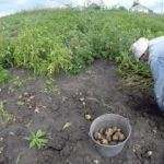 Как формировать арбузы в теплице