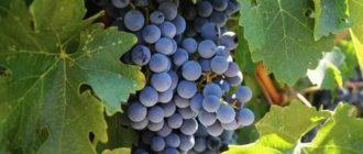 Виноград сорта для средней полосы россии