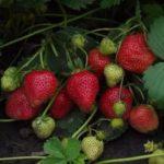 Пихта выращивание и уход