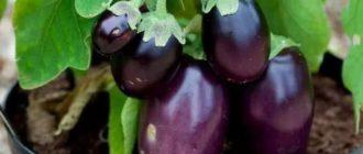 Как выращивать баклажаны дома