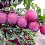 Обработка яблонь железным купоросом