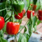 Мята выращивание и уход