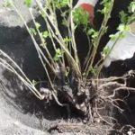 Когда сажать рассаду помидор для теплицы