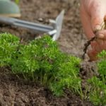 Посев земляники семенами видео