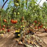 Мини помидоры