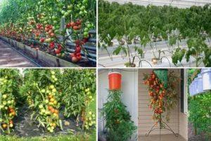 Способ выращивания томатов