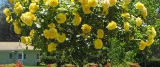 Что такое штамбовая форма растения