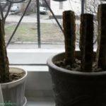 Выращивание луковиц тюльпана