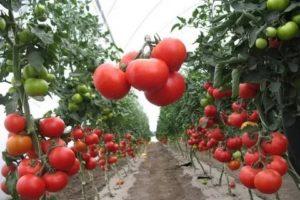 Агротехника томатов