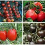 Выращивание рассады помидоров в теплице