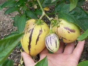 Пепино выращивание и уход