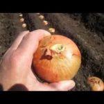 Борьба с мучнистой росой смородины
