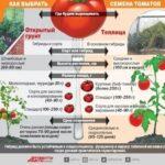 После чего лучше сажать помидоры