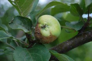 Заболевание яблонь