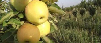 Яблоня крупный викич