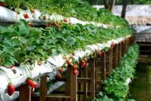 Метод выращивания клубники