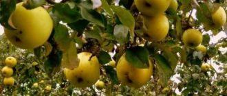 Яблоки антоновка польза