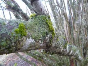 Борьба с мхом на деревьях