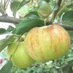 Правильная посадка помидоров в теплице