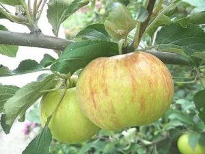 Летние сорта яблони