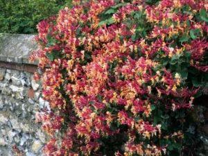 Многолетние вьющиеся цветы на даче