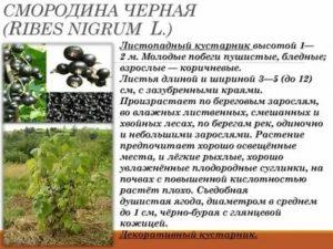 Смородина черная какую почву любит