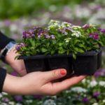 Промышленное выращивание клубники в теплицах