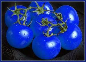 Помидор синий