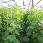 Выращивание абрикосов в подмосковье