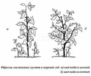 Малиновое дерево обрезка