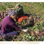 Как выбрать свои семена из помидор
