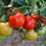 Репа выращивание и уход