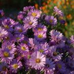 Колокольчик персиколистный цветок