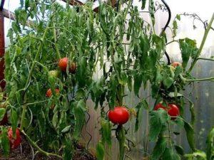 Если не растут помидоры