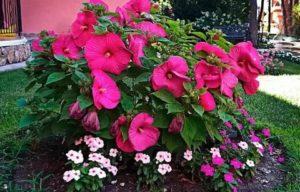 Гибискусы в саду