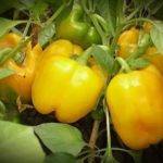 Грунтовые сорта помидор