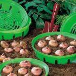 Как вырастить топинамбур на даче