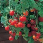 Плохо растет рассада помидоров