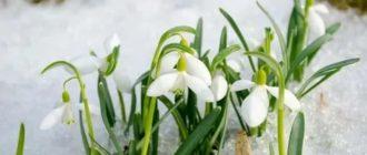 Цветок подснежник
