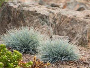 Выращивание овсяницы сизой из семян