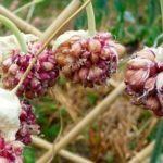 Крыжовник белый налет на ягодах