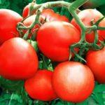 В каком месяце сажать рассаду помидор