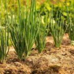 Как посадить красную смородину