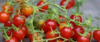 Сорт маленьких помидоров